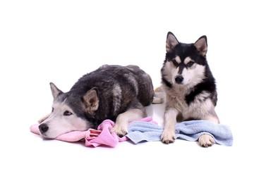 zwei Hunde Husky mit Badetuch