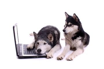 zwei Hunde Husky mit Laptop