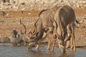 Kudu bulls drinking