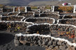 Vineyard in volcanic soil of Canary Island Lanzarote