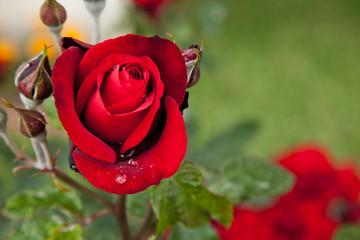 rain drop on red rose