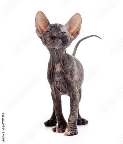 Satisfied hairless sphynx kitten