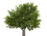 crack willow tree isolated on white background
