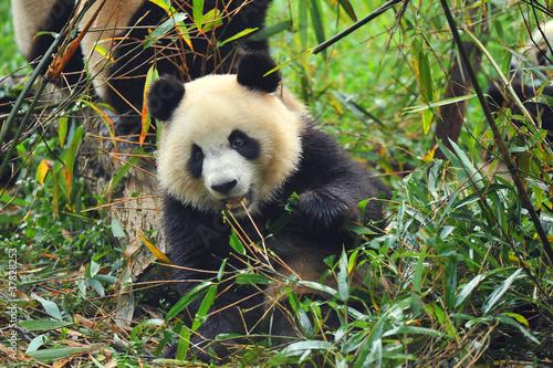 Hungry giant panda bear jedzenia bambusa