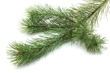 Fir tree branch on white background