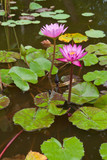group of water lilly in pond