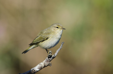 Chiffchaff Phylloscopus collybita, Greece