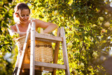 Fototapety Young woman up on a ladder picking apples from an apple tree