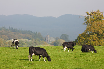 Herd of fresian cows
