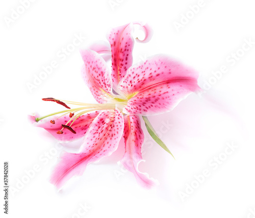 Stargazer lily isolated