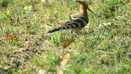 Hoopoe bird in natural habitat
