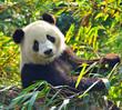 Fototapeten,panda,bambus,tier,asien