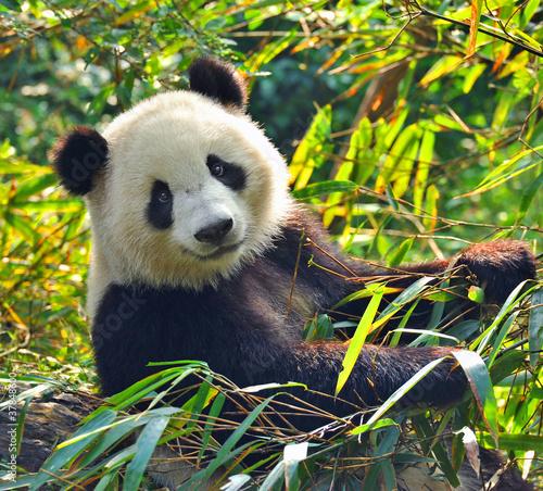 Fototapeten,panamericana,bambus,tier,asien