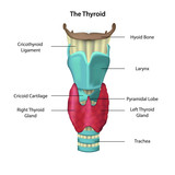 anatomie of the thyroid illustration