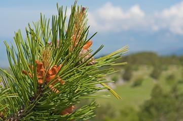 germogli di pino