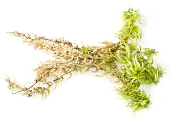 moos Sphagnum plant isolated