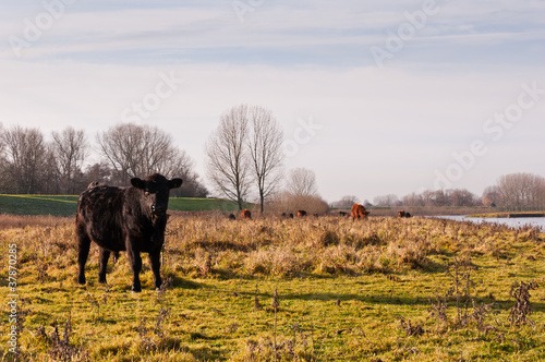 Scottish Lowland cows in a small Dutch nature reserve