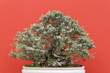 olivo - olea bonsai tree