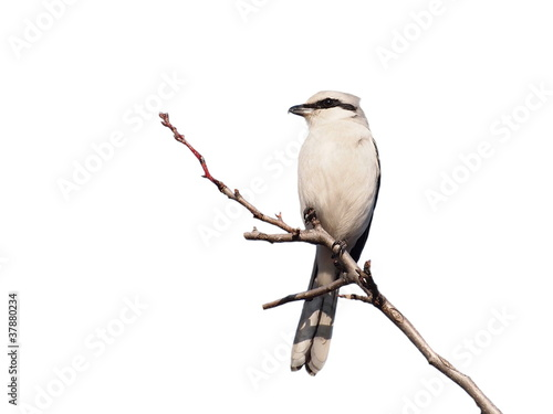 Northern Grey Shrike isolated on white background
