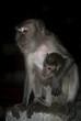 Long-tailed macaques, Batu Caves, Malaysia