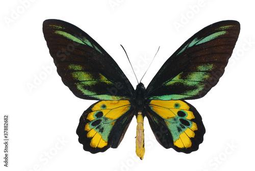 Rothschild's birdwing  (Ornithoptera rothschildi)