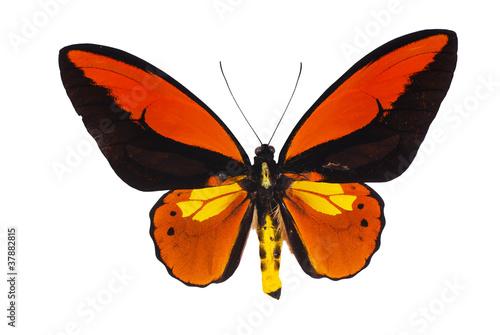 Fotobehang Vlinder Birdwing swallowtail