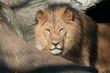 Fototapeten,löwe,katze,raubkatze,könig