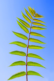 Leaf of Staghorn sumac