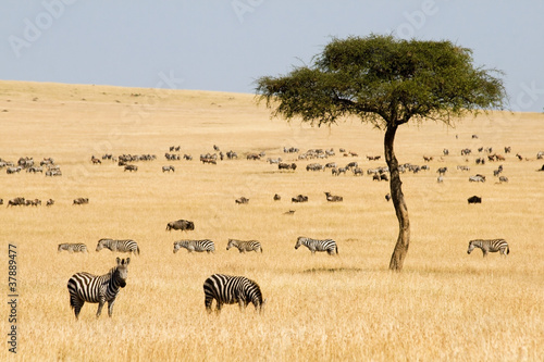 Foto op Canvas Zebra Plains zebras (Equus quagga) and Gnus in Masai Mara, Kenya