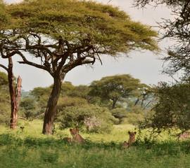 Pride of lions in a bucolic landscape