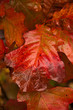 Colorful Oak Leaf in Fall