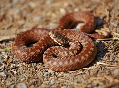 Common european adder - 37912028