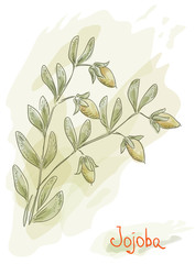 Jojoba branch with fruits. Watercolor style.