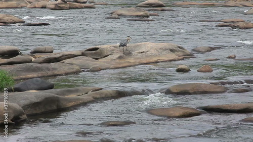 Heron walking on river rocks