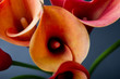 Orange Calla lilies (Zantedeschia) over black