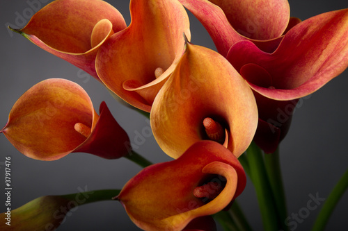 Orange Calla lilies(Zantedeschia) over black
