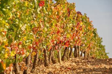 Viñedo en otoño, La Rioja