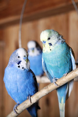 Blue budgie is sitting on a branch in an aviary