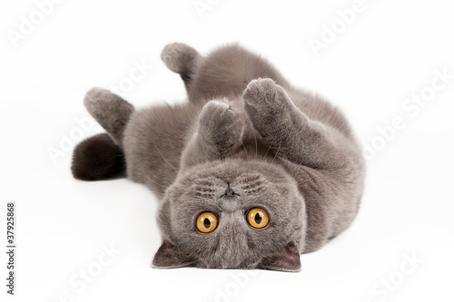 Foto op Canvas Tijger blue british female cat on white background