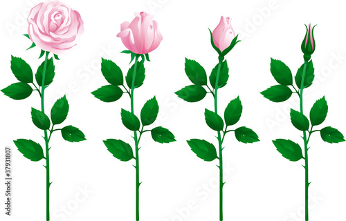 Vector set of pink roses