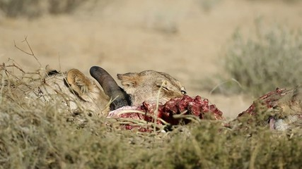 African lions feeding on a carcass, Kalahari, South Africa