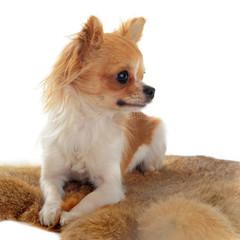 chihuahua sur fourrure