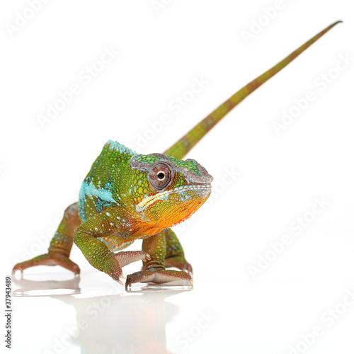 Foto op Plexiglas Kameleon Pantherchamäleon