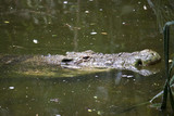 Saltwater crocodile (Crocodylus porosus) poster