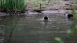 Zwei Enten putzen sich im Wasser