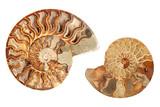 dvě ammonites