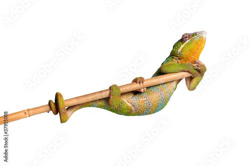 Staande foto Kameleon Turnübung