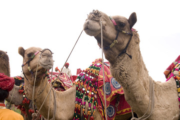 colorfully decorated camels, Rajasthan, India