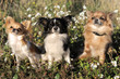 three chihuahua