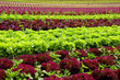Salatanbau
